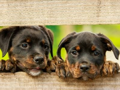 Rottweiler puppies peering through the fence