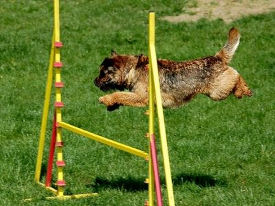 Terrier doing canine agility