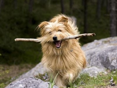 Small dog retrieving stick