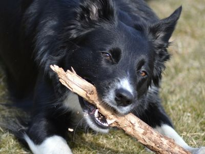 Collie chewing a stick