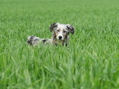 Dog walking in long grass
