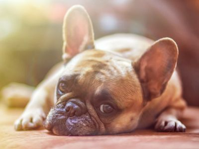 French bulldog lying down