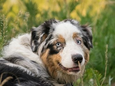 Australian shepherd in grass