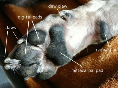 Dog Paw Anatomical Diagram