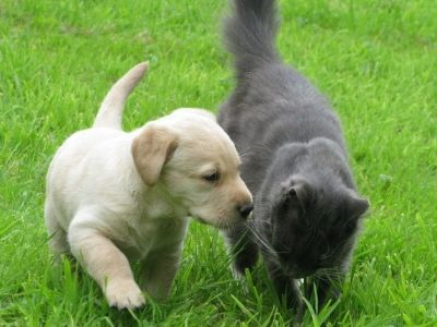 Cosmo and Taran, Labrador puppy with cat
