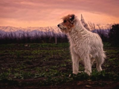 Terrier, header image for Grain Free 80:60:20