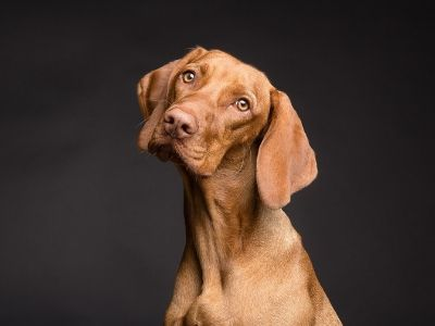 A vizsla on a black background