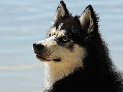 A husky by the sea