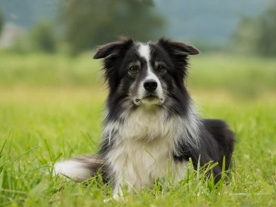 Border collie lying in the grass