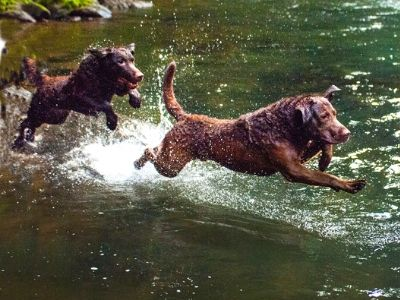 Chesapeake Bay retriever jumping into water