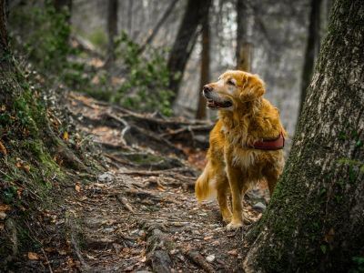 Golden retriever in woods