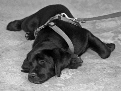 Labrador puppy laying down on lead