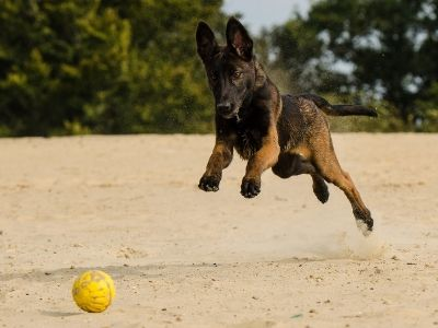 Young malinois puppy playing