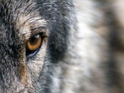 Grey wolf's eye