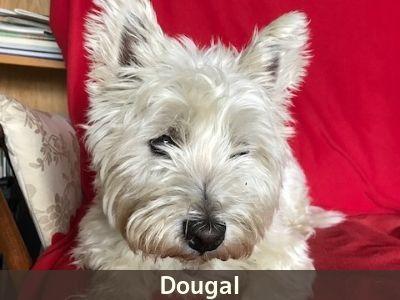 Dougal, the Westie