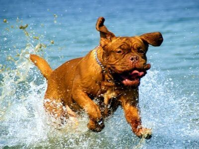 Dogue de Bordeaux running in the sea waves