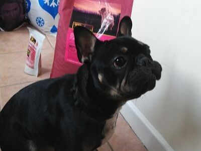 Cookie, the French bulldog