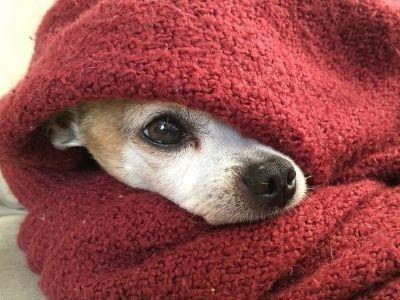 Dog hiding in blanket