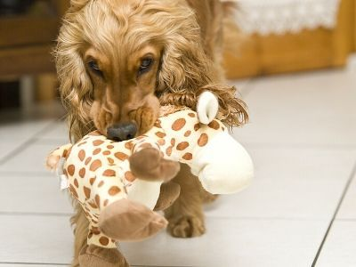 Cocker spaniel retrieving giraffe toy
