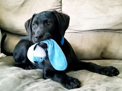 Black Labrador puppy with toy on sofa