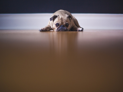 Pug dog lying on wooden floor