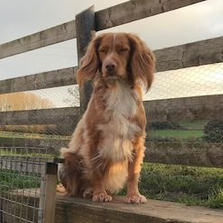 Ellie the cocker spaniel