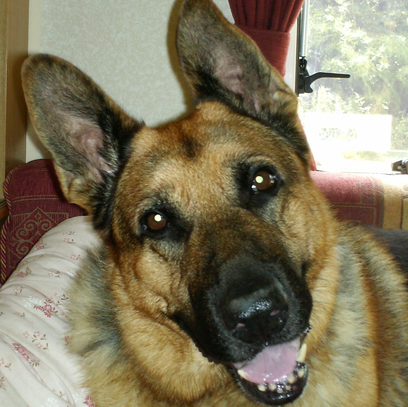 Buddy the German shepherd dog