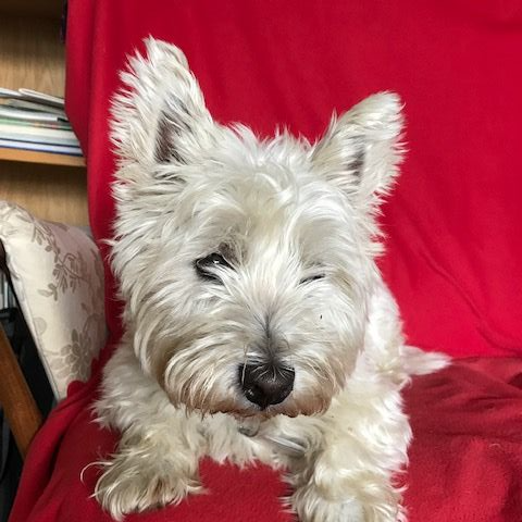 Dougal the West Highland Terrier