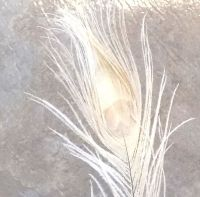 Ivory Peacock Eye Tail Feather