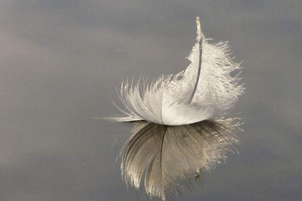 Goose coquille feather reflected