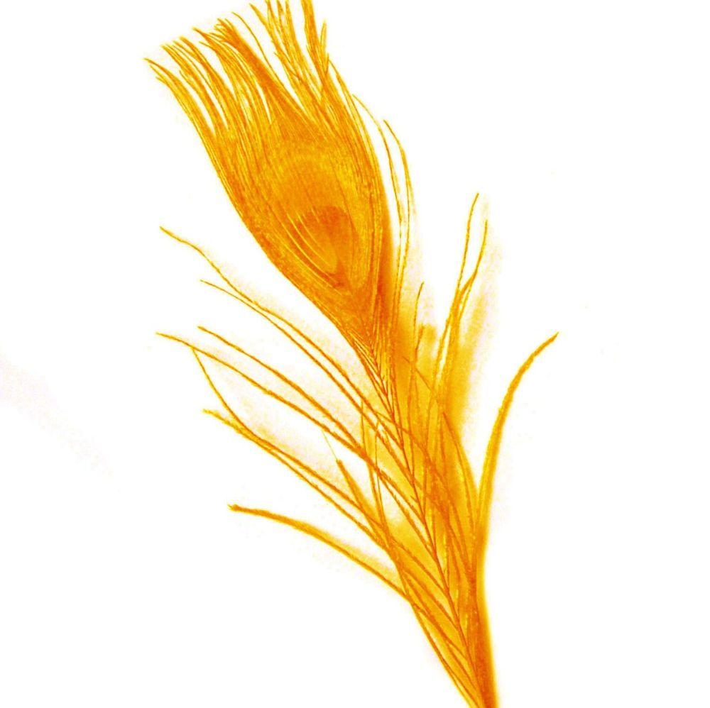 Golden Yellow Peacock Eye Tail Feather
