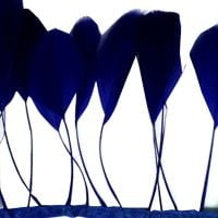Navy Blue Stripped Coque Tail Rooster Feathers x 10