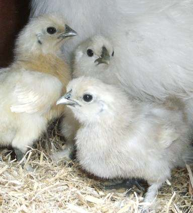 Chicks 1st May11