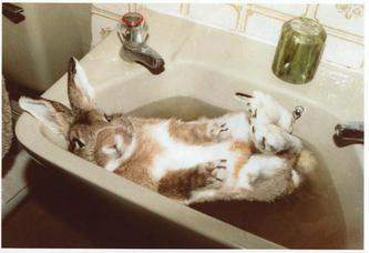 Rabbit in the sink