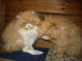 Ginger Persians