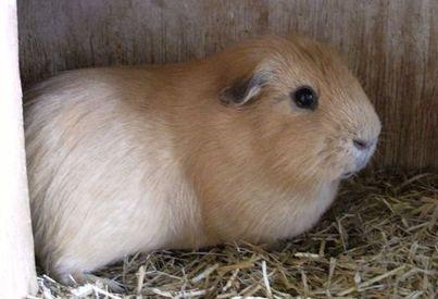 Guinea 3