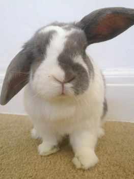 Noddy rabbit adoption
