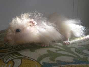 Penfold Hamster