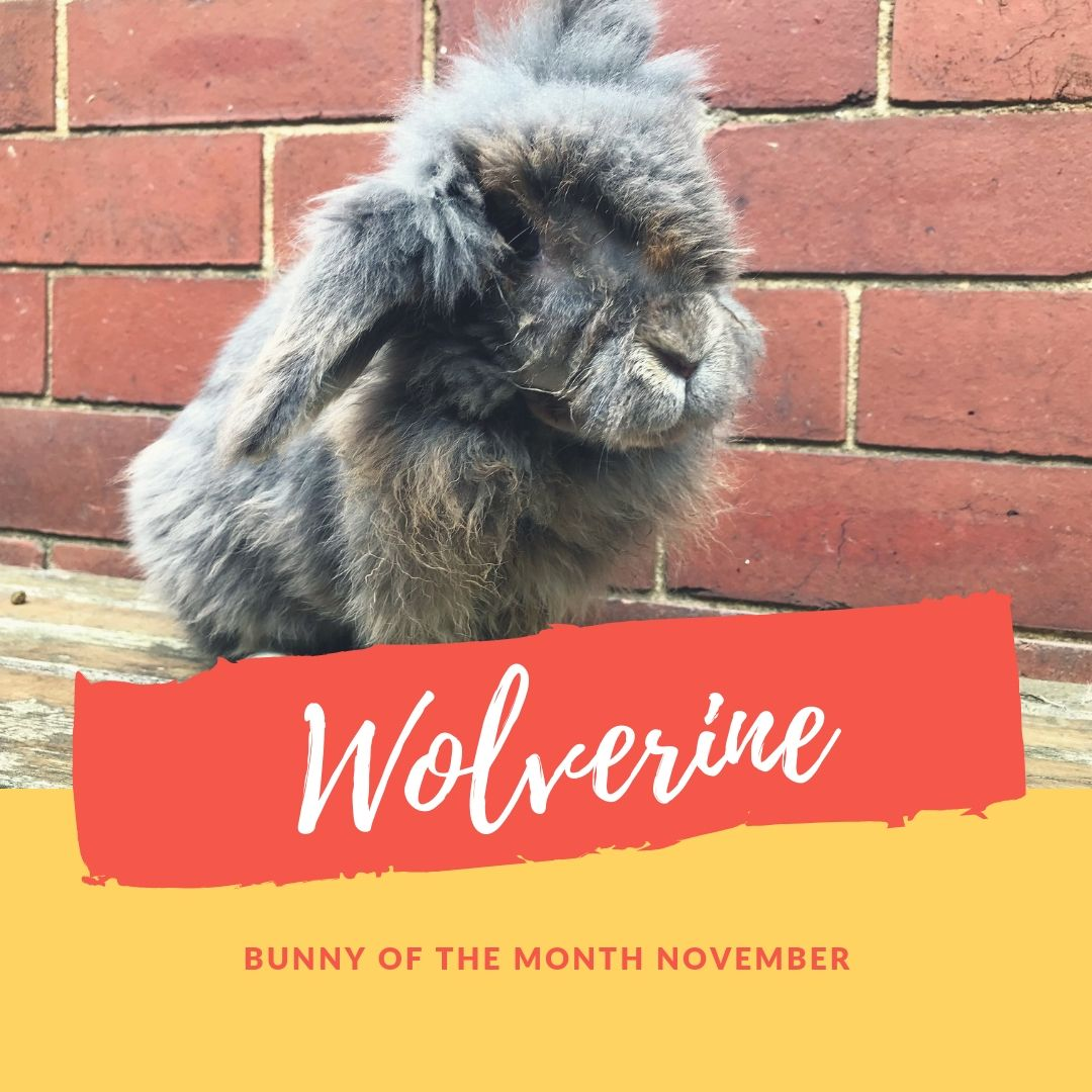 Wolverine bunny of the month