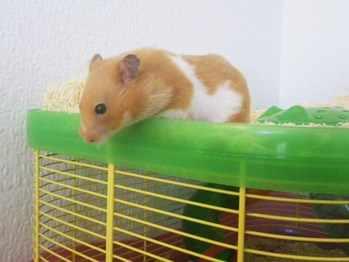 Pheobe rescue hamster