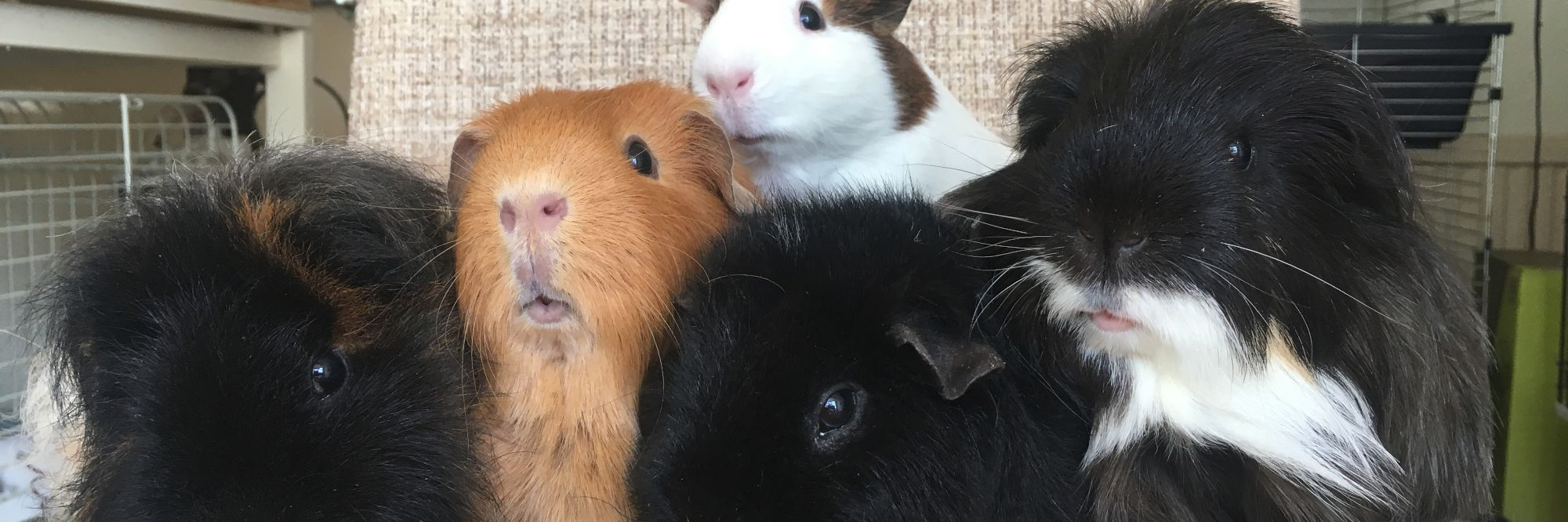 Sanctuary guinea pigs - homepage