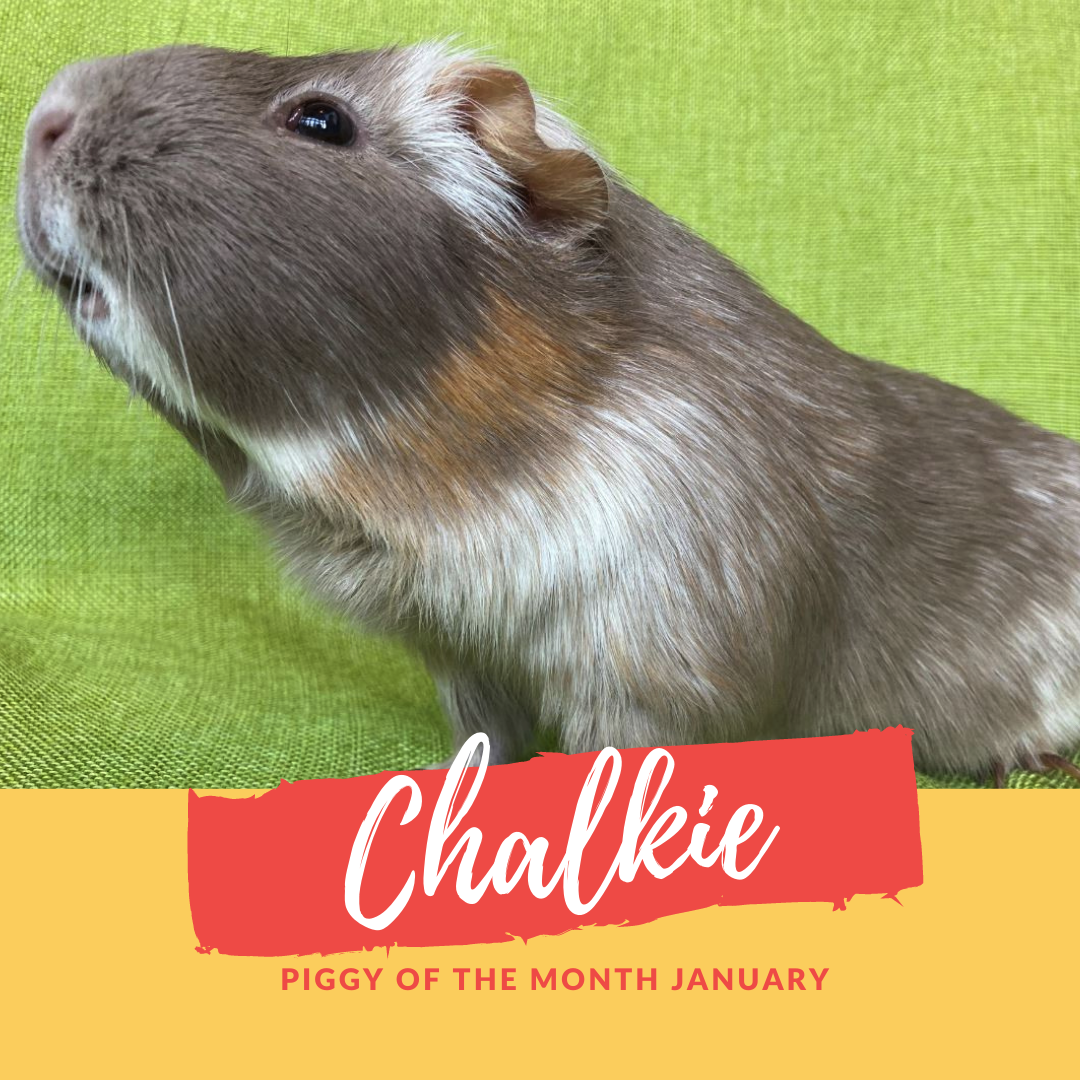 chalkie piggy of the month