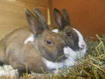 Toffee and Apple dutch rabbits