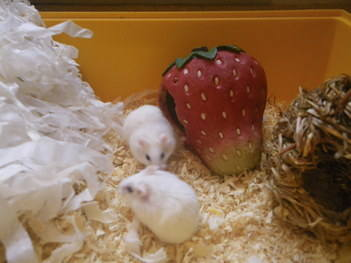 Kawaii and Kawaii winter white hamsters