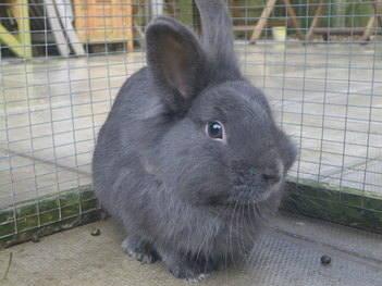 Theo rabbit