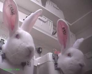 BUAV rabbits