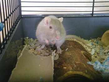 One eyed Jill gerbil rehoming leeds