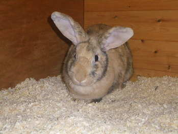 Abigail rabbit rehoming yorkshire