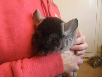 Baby Chinchilla rescue Leeds