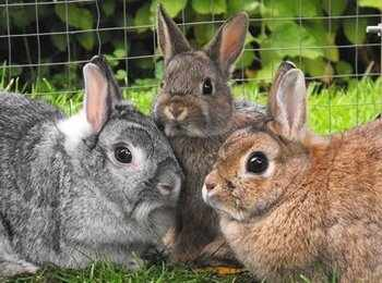 Stella Tilly Bambi dwarf rabbits adoption